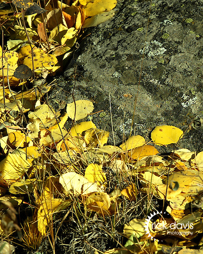 Golden aspen leaves on a moss rock in the mountains above Central City.