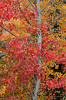 Aspen tree with autumn foliage
