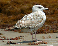 Herring gull first summer