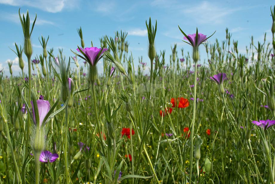 Akker onkruiden met Bolderik (Agrostemma githago) en Klaproos (Papaver rhoeas)