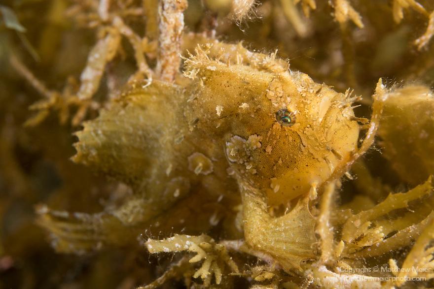 Dumaguete, Dauin, Negros Oriental, Philippines; a sargassumfish hiding amongst a patch of sargassum algae on the seafloor