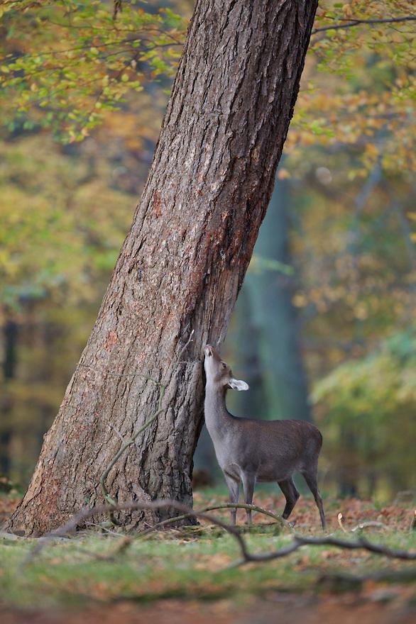 Sika Deer (Cervus nippon), Klampenborg Dyrehave, Denmark. Fenced reserve enclosure.