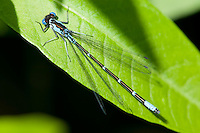 Aurora Damsel (Chromagrion conditum) Damselfly - Male, Cranberry Lake Preserve, Westchester County, New York