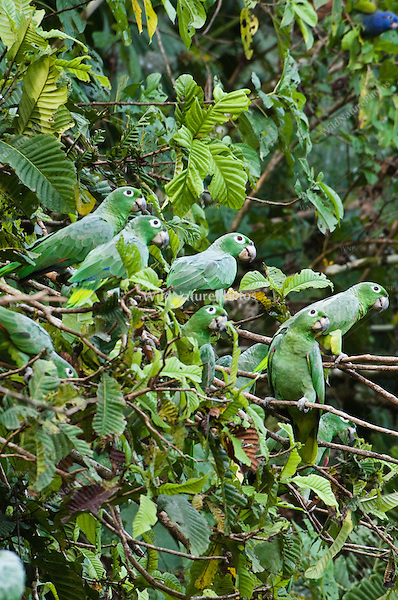 Mealy Amazon, Amazona farinosa, in flight. Parrot Lick, Napo Wildlife Center, Ecuador