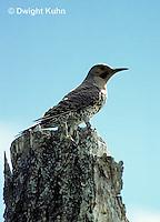 FK03-001z  Common Flicker - Colaptes auratus