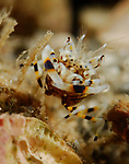 Striped Bumblebee Shrimp , Gnathophyllum americanum, Blue Heron Bridge, Lake Worth Inlet,  Florida, USA, Amazing Underwater Photography, Marine behavior 2-12-14-240