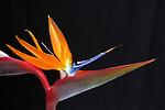 Strelitzia - Bird of Paradise