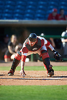 Ball State Cardinals catcher Erek Bolton (11) picks up the ball after blocking a pitch during a game against the Louisville Cardinals on February 19, 2017 at Spectrum Field in Clearwater, Florida.  Louisville defeated Ball State 10-4.  (Mike Janes/Four Seam Images)