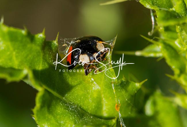 HALFWEG - insecten op de golfbaan ,aziatisch lieveheersbeestje Amsterdamse Golf Club. (AGC)  . Insecteninventarisatie  COPYRIGHT KOEN SUYK