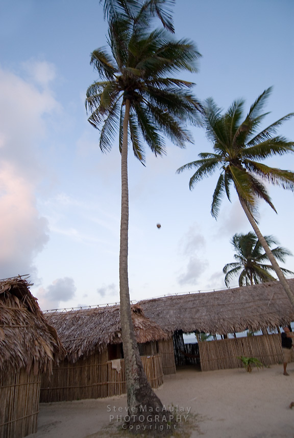 Climbing coconut palm to get fresh coconuts, Comarca De Kuna Yala, San Blas Islands, Panama