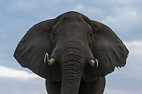 Low POV from below an elephant