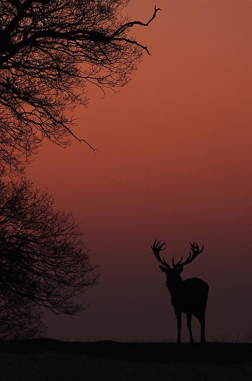 Distant silhouette of a Red deer (Cervus elaphus) at first light, Bedfordshire UK