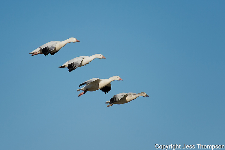 Snow Geese, Bosque del Apache NWR, New Mexico