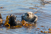 Sea otter relaxing, San Luis Obispo County, CA