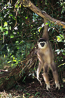 Young muller's or gray gibbon (Hylobates mulleri), Range: Borneo, photographed in S.E. Asia.