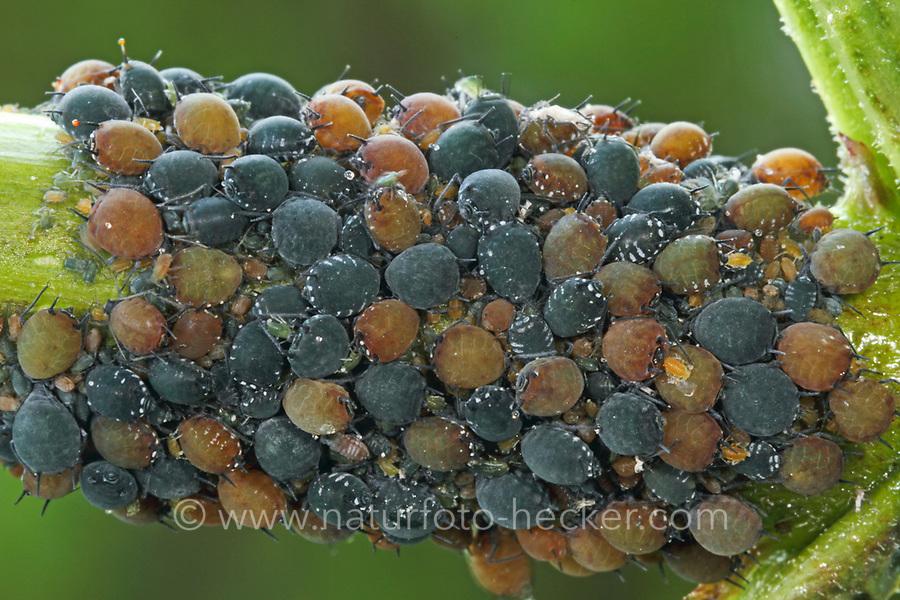 Holunder-Blattlaus, Holunderblattlaus, Schwarze Holunderblattlaus, Aphis sambuci,  Aphis sambucina, Elder Aphid