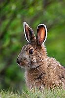 Snowshoe hare (Lepus americanus) near the Savage River, Denali National Park, Alaska