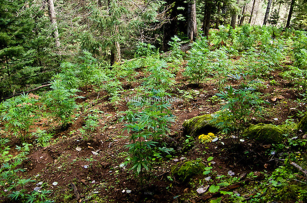 Marijuana (Cannibis sativa) illegally growing in a wildlife preserve in the Sierra Madre, Mexico
