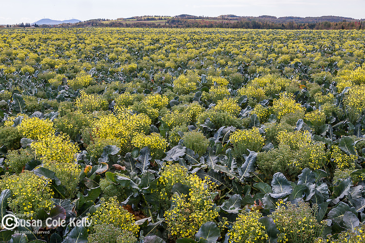 Broccoli field in Fort Fairfield, Maine, USA