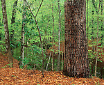 old growth forest in Milll Creek Cove, Sabine National Forest, Texas