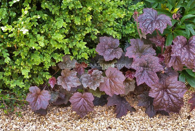 Buxus sempervirens, Heuchera 'Palace Purple', Helleborus, fern, shade plants