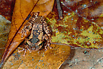 Casque-headed frog, Tambopata River region, Peru