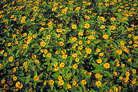 yellow colored zinnias growing in field. plant, plants, garden, gardening, cultivated flowers, flower, nursery.