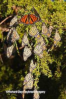 03536-05202 Monarch butterflies (Danaus plexippus) roosting in Eastern Red Cedar tree (Juniperus virginiana),  Prairie Ridge State Natural Area, Marion Co., IL