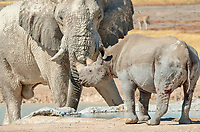 African elephant bull (Loxodonta africana) and black rhinoceros (Diceros bicornis), face to face, at waterhole, Etosha National Park, Namibia, Africa
