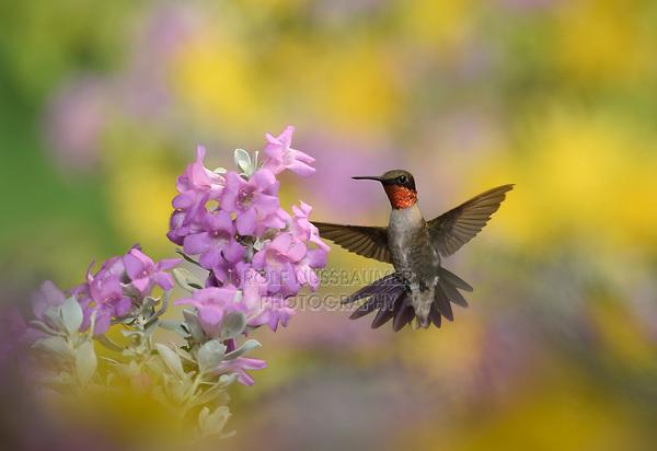 Ruby-throated Hummingbird (Archilochus colubris), male in flight feeding on Purple sage (Leucophyllum frutescens)  flower, Hill Country, Texas, USA