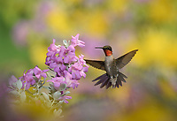 Ruby-throated Hummingbird (Archilochus colubris), male in flight feeding on Purple sage (Leucophyllum frutescens)  flower, Hill Country, Texas, USA
