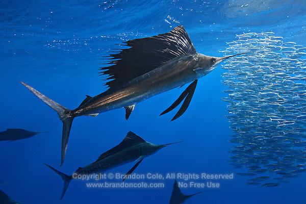 qh0926-D. Atlantic Sailfish (Istiophorus albicans) feeding on sardines. Note some consider this to be the same species as the Indo-Pacific Sailfish (I. platypterus). Mexico, Gulf of Mexico..Photo Copyright © Brandon Cole. All rights reserved worldwide.  www.brandoncole.com..This photo is NOT free. It is NOT in the public domain. This photo is a Copyrighted Work, registered with the US Copyright Office. .Rights to reproduction of photograph granted only upon payment in full of agreed upon licensing fee. Any use of this photo prior to such payment is an infringement of copyright and punishable by fines up to  $150,000 USD...Brandon Cole.MARINE PHOTOGRAPHY.http://www.brandoncole.com.email: brandoncole@msn.com.4917 N. Boeing Rd..Spokane Valley, WA  99206  USA.tel: 509-535-3489