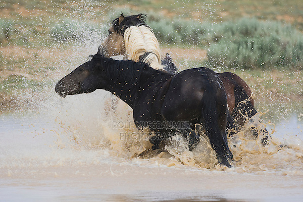 Mustang Horse (Equus caballus), herd running in pond, Pryor Mountain Wild Horse Range, Montana, USA