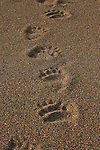 Brown bear footprints are seen here in the sand on the beach, near the mouth of Shelter Creek, in Lake Clark National Park, Alaska.  Photo by Gus Curtis.