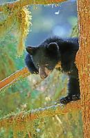 Young black bear, cinnamon bear (Ursus americanus) , South East Alaska