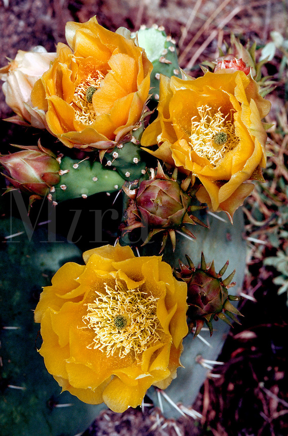 Close up detail of a Prickly Pear cactus (Opuntia) blossom. Arizona.