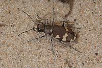 Dünen-Sandlaufkäfer, Brauner Sandlaufkäfer, Kupferbrauner Sandlaufkäfer, Sand-Laufkäfer, Cicindela hybrida, dune tiger beetle