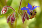 Bee on Borage, Western Honey Bee, Southern California