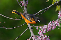Male Northern Oriole or Baltimore Oriole (Icterus galbula) in redbud tree.  Spring.