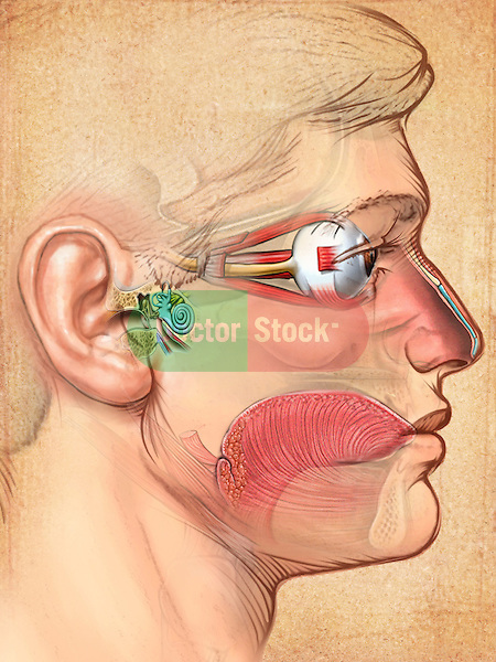 The sense of sight, smell, hearing and taste are featured in this side view of a man's face; four of the five senses are highlighted in color and are set off from the neatral background