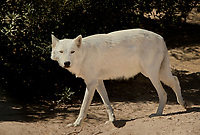 694920031 an arctic wolf canis lupus wanders in its enclosure at a wildlife rescue facility - animal is a wildlife rescue animal - species is endangered in its native habitat