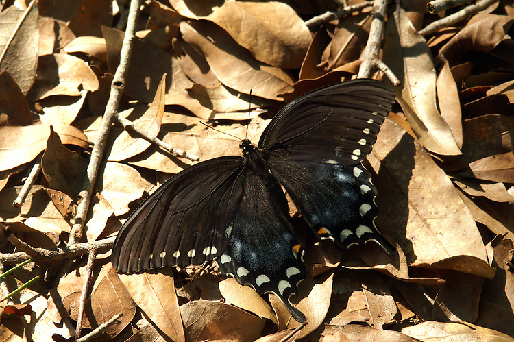 The female Black Swallowtail has iridesent blue on the hind wing.
