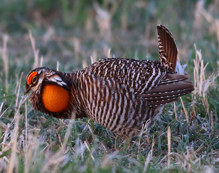 Male greater prairie chicken displaying on lek