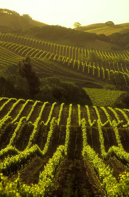 Carneros vineyard in southern Napa County