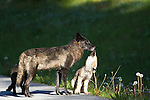 An eleven-week-old wolf pup licks the muzzle of his older brother, presumably in an effort to get a meal. Banff National Park, Alberta, Canada.