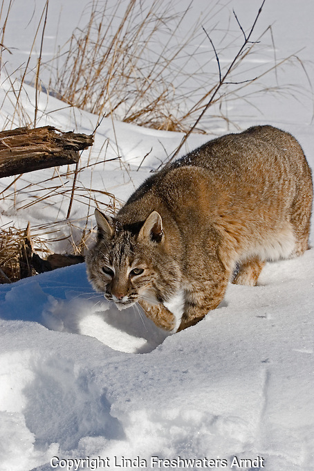 Bobcat (Felis concolor) walking in the snow.  Minnesota.