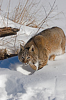 Bobcat walking in the snow.  Minnesota.