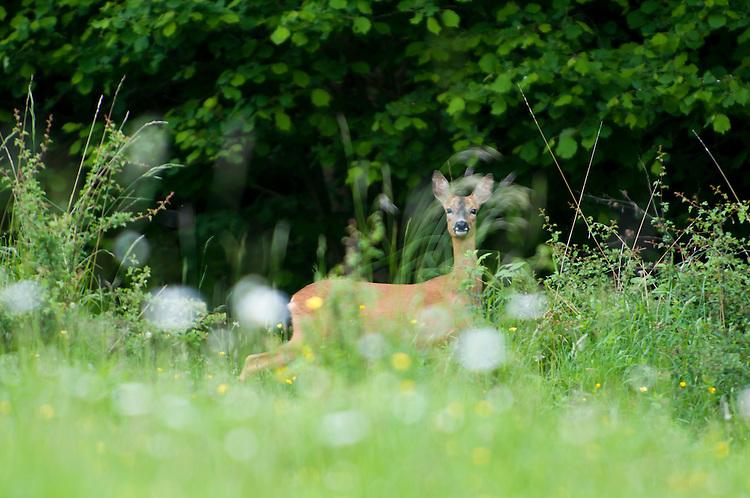Roe deer, Capreolus capreolus, at woodland edge in the Daneway banks nature reserve, Sapperton. UK.