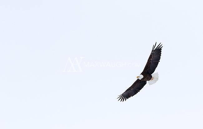 A bald eagle soars over Yellowstone.