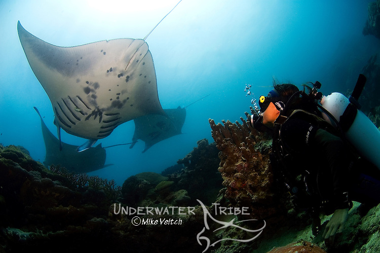 A diver watches Manta rays at a cleaning station, Manta birostris, Valley of the Rays, Goofnuw Channel, Yap, Federated States of Micronesia, Pacific Ocean